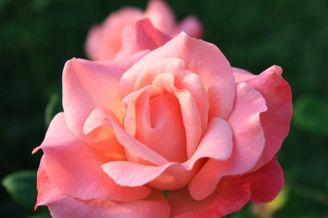 melon colored Roses