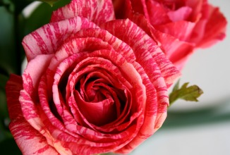 Pink Intuition Roses