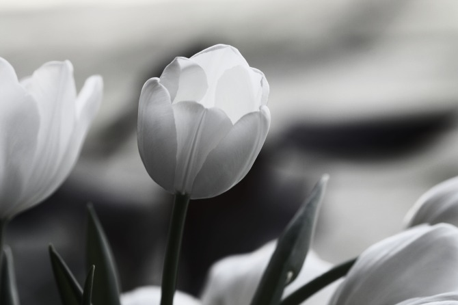 b&w tulips
