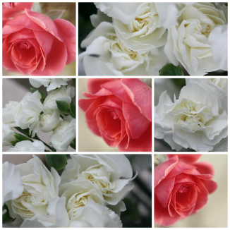 Carnation and  Rose