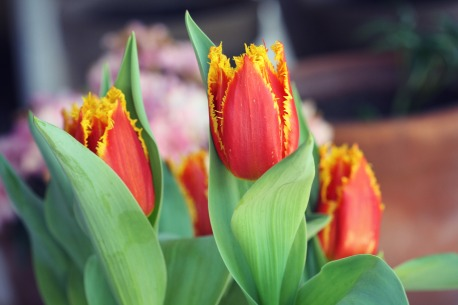 Orange-yellow fringed tulips