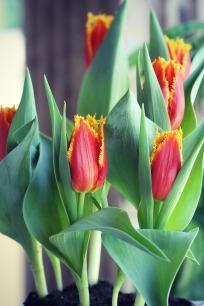 Orange-yellow fringed tulips