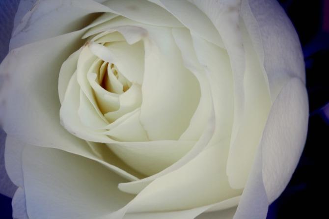 the bridal rose