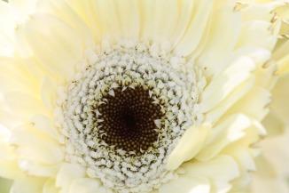 white gerbera daisy