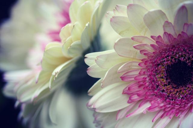 pink white Gerbera Daisy