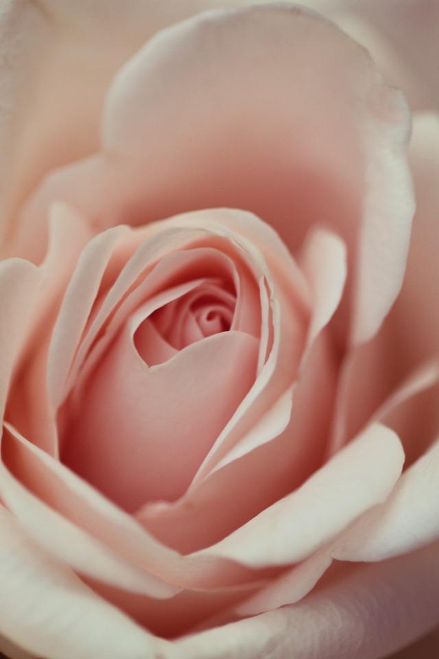 sweet pink rose